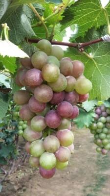 Виноград «Амирхан»