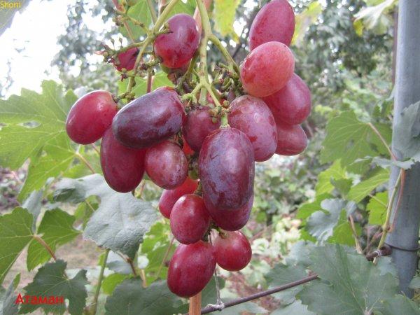 Виноград Атаман: описание сорта, его характеристики и особенности, фото