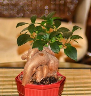 Фикус микрокарпа Мокламе 25 фото уход за штамбом в домашних условиях Что делать если опадают листья Размножение и формирование кроны