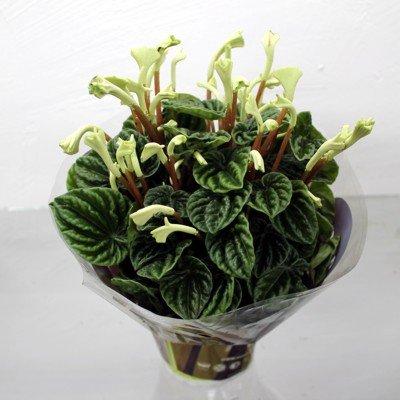 """Растение """"Пеперомия лилиан"""""""