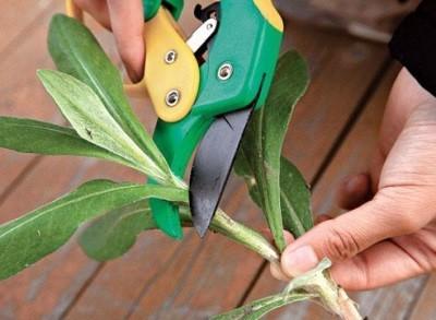 Размножение герберы листом