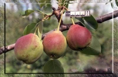Груша Сварог: описание сорта, фото, агротехника и история селекции