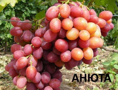 """винограда """"Анюта"""""""