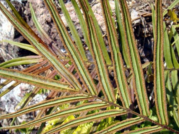 Тenuifolia