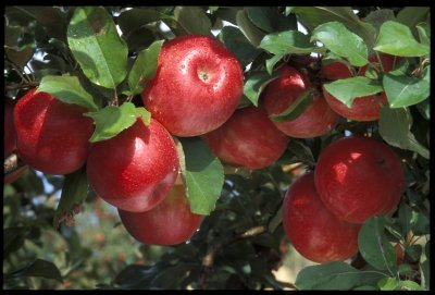 Как узнать Нимфу среди других яблонь?
