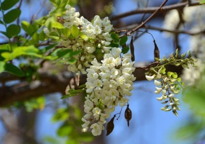 Акация белая применение лечебные свойства и противопоказания
