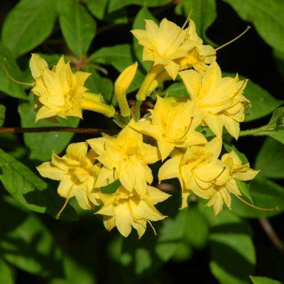 nartsissiflora