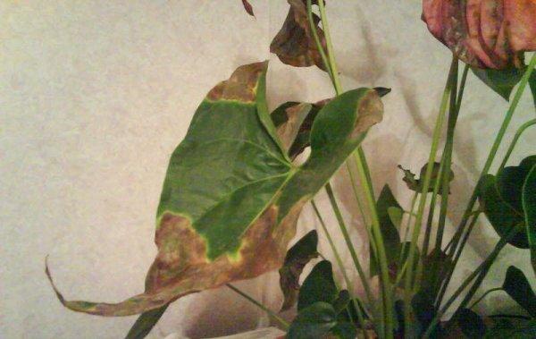 Болезни листьев антуриума с фото и как их лечить