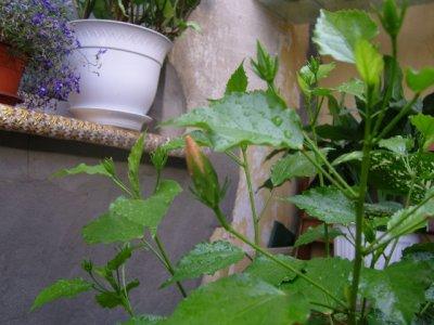 Гибискус не цветет