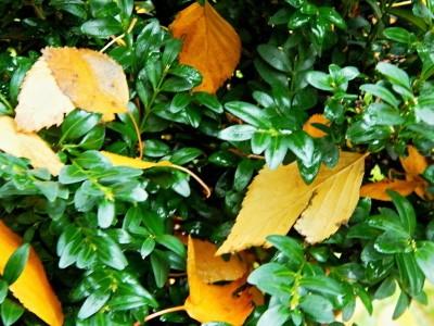 Пересадка самшита осенью на новое место — Сайт о даче