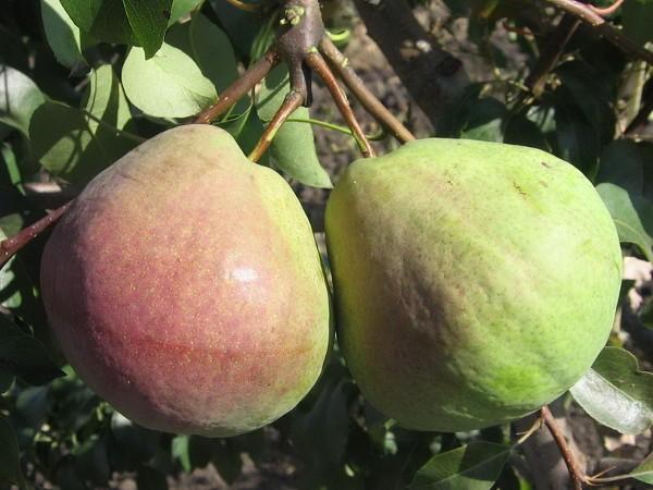 Груша Елена: описание сорта, особенности выращивания