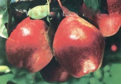 Красная груша описание сорта фото особенности ухода