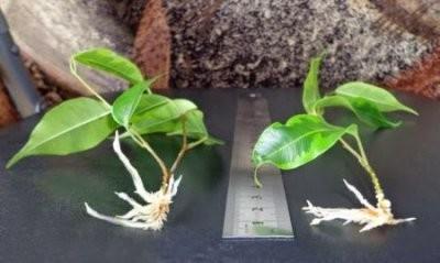 Фикус Выращивание в домашних условиях