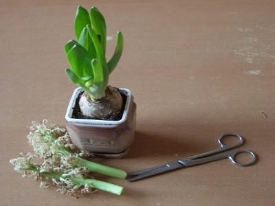 Уход после цветения гиацинта очень важен