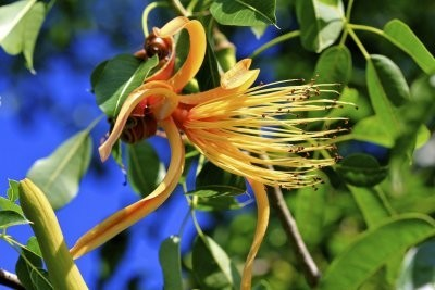 Цветок Пахиры Акватики