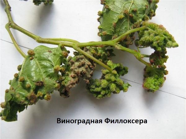 Проблемы винограда грибковые заболевания