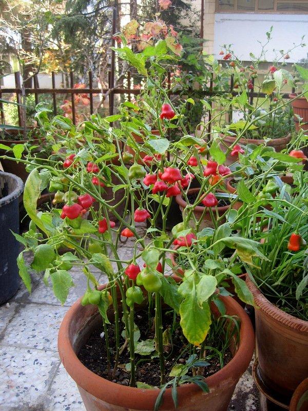 Как выращивать горький перец Колокольчик