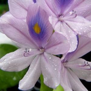 Водный гиацинт (эйхорния)