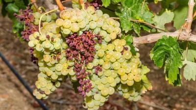 Вирусные болезни винограда