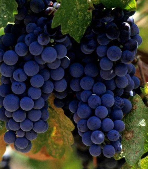 Осенняя обрезка винограда изабелла в подмосковье