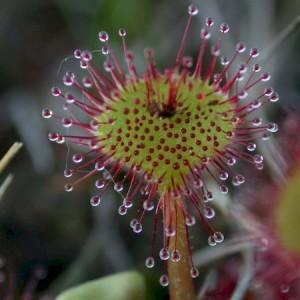 хищное растение росянка