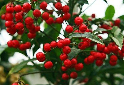 Цветы с красными ягодами фото и названия