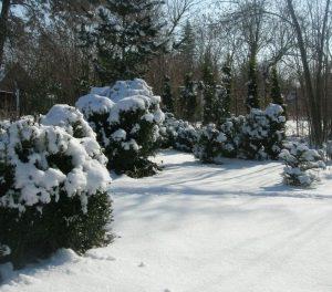 Защита самшита зимой