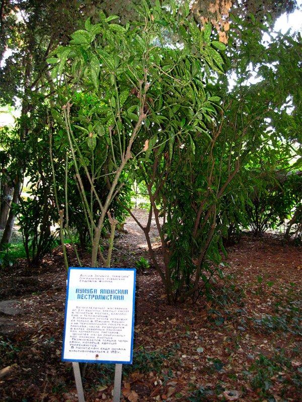 Аукуба японская - aucuba japonica: аукуба уход в домашних условиях