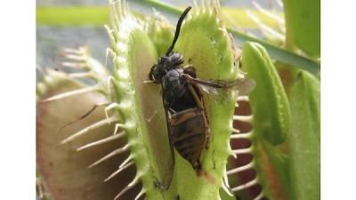Чем питается венерина мухоловка