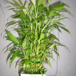 как вырастить бамбук в домашних условиях