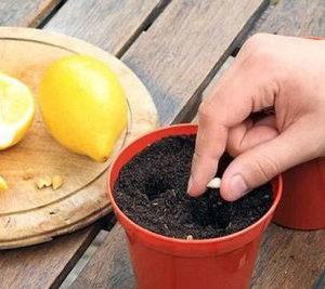 как выращивать лимон из косточки в домашних условиях