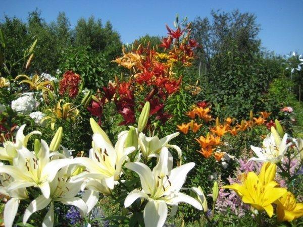 Посадка лилии в саду