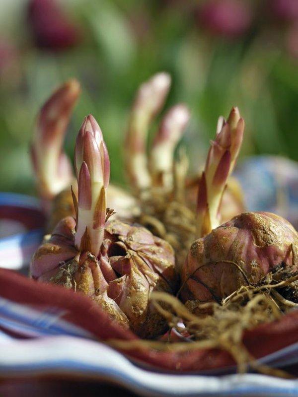 Как вырастить лилию из семян 19 фото Правила размножения Как выглядят семена Какие сорта выращивать в домашних условиях