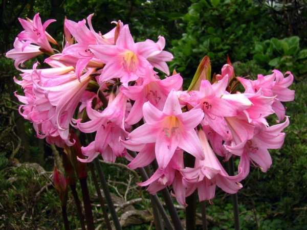 amaryllis-belladonna