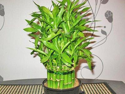 как посадить бамбук в домашних условиях