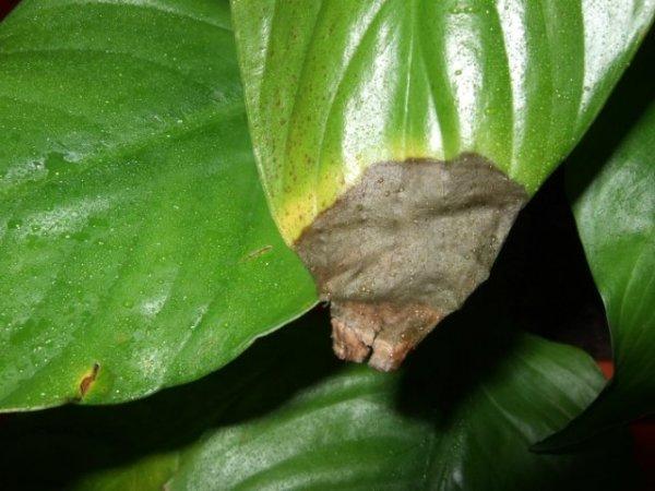 Причины опадания листьев у комнатного лимона