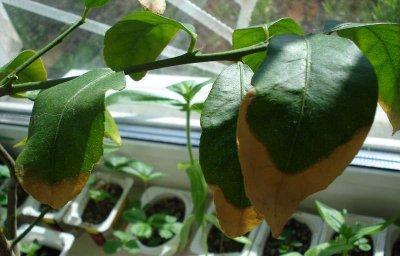 почему лимон сбрасывает листья что делать