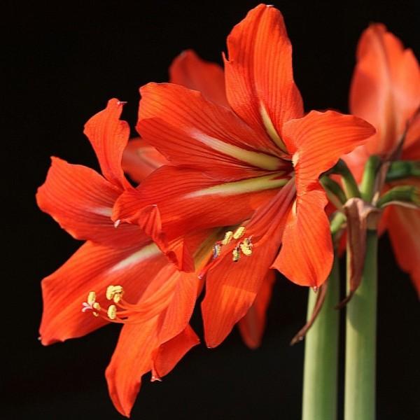 Оранжевый амариллис 1
