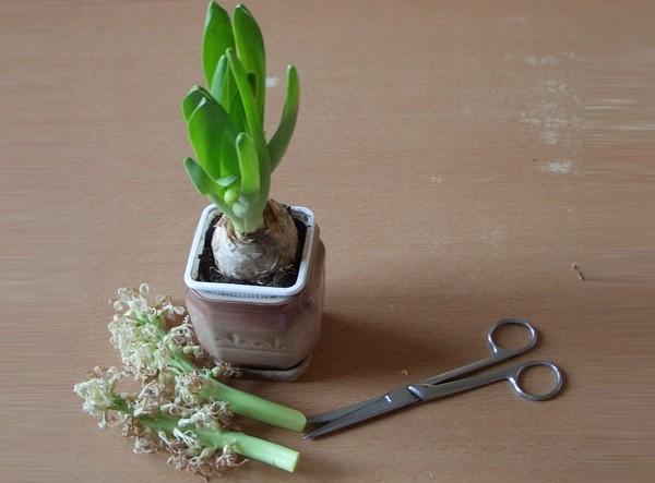 Гиацинт в домашних условиях: уход за комнатным растением в горшке