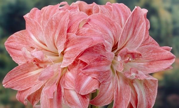 Розовый амариллис 1