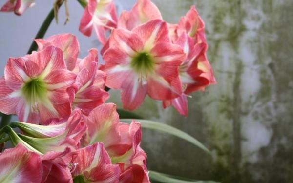 Розовый амариллис 3
