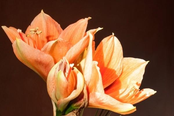 Оранжевый амариллис 2