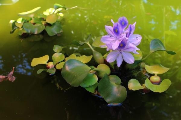 Водный гиацинт 3