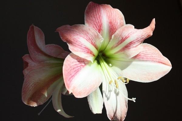 Розовый амариллис 2