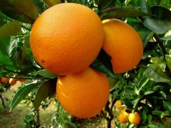 Выращивание сорта апельсина Вашингтон Навел