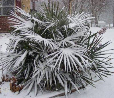 Морозостойкие пальмы
