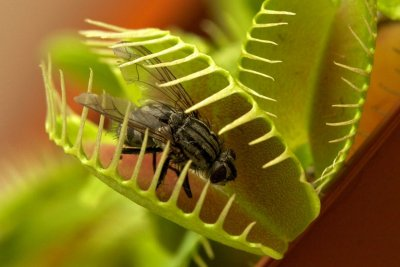 Очаровательное хищное растение  венерина мухоловка