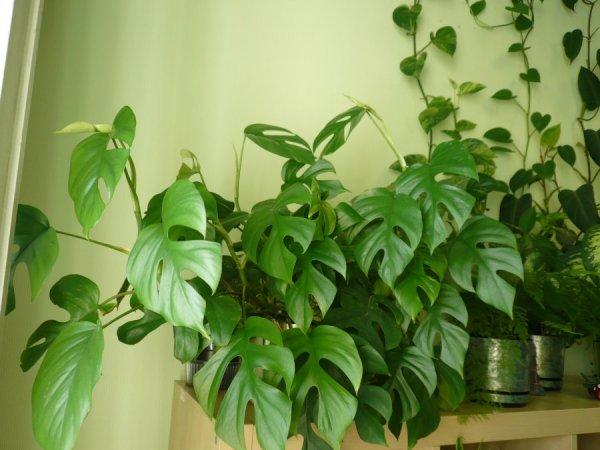 Виды, сорта, названия домашних цветов Лиан