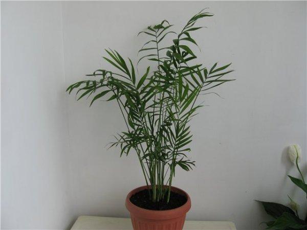 Виды (разновидности) пальм