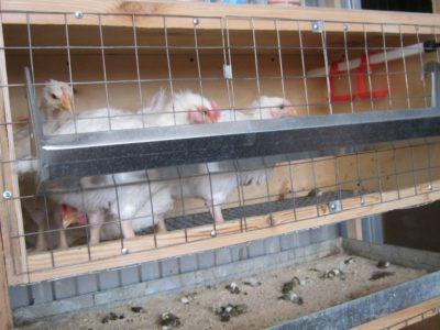 Общее описание породы и условия содержания куриц